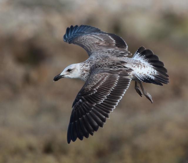 cape gull3