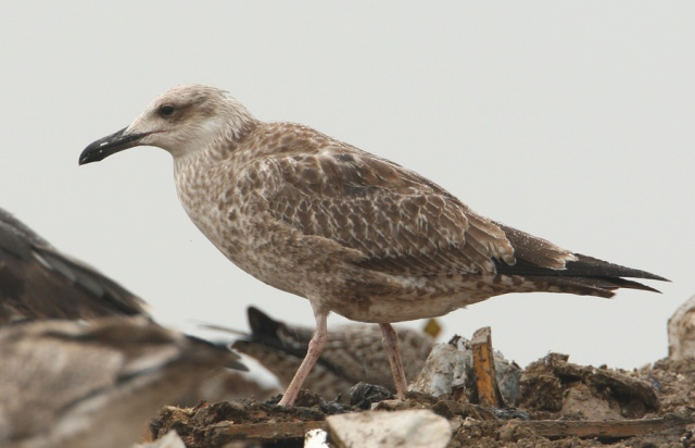 08-25-2013 Caspian Gull juvenile Pitsea Tip WEB 069