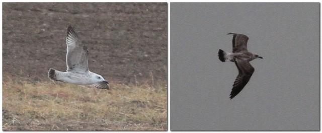 1cy Caspian Gull Flamborough 19.9.13