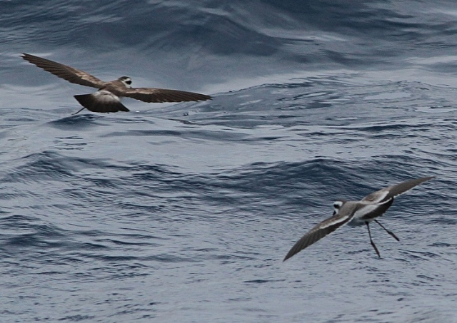 ad and juv White faced petrel aug 13 2