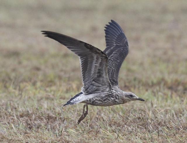Bempton-gull-6a
