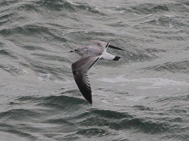common gull 1cy