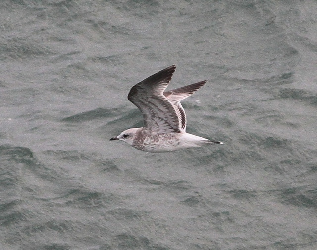 common gull c