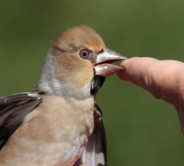 Hawfinch Spurn 20.9.13