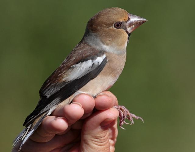 Hawfinch Spurn b 20.9.13
