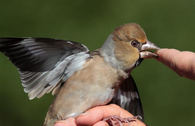 Hawfinch Spurn c 20.9.13