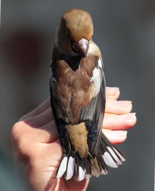 Hawfinch Spurn d 20.9.13