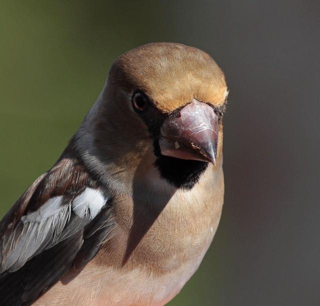 Hawfinch Spurn e 20.9.13