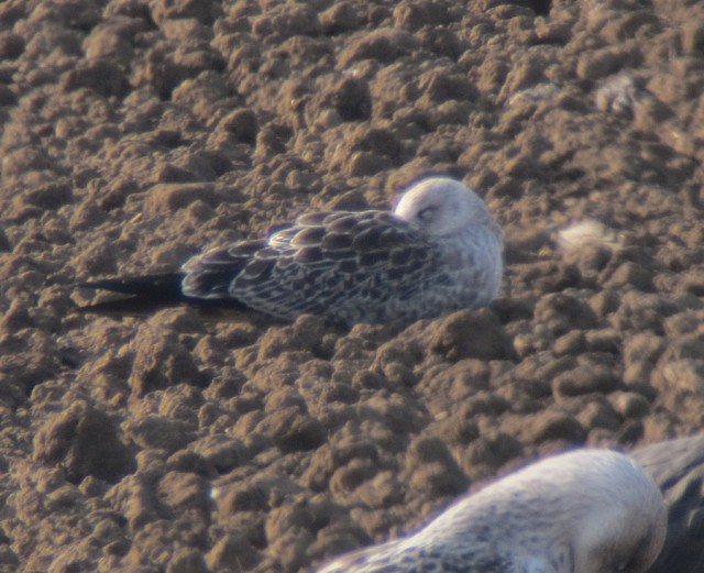 juv Baltic Gull c type Flam 21.9.13 b
