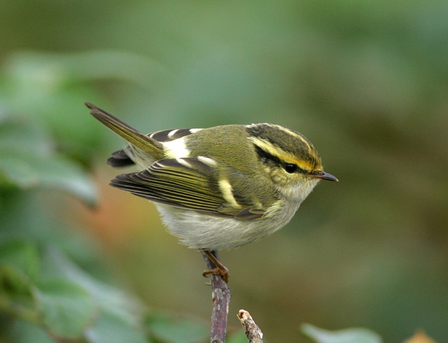pallas-warbler-by-jim-nicolson