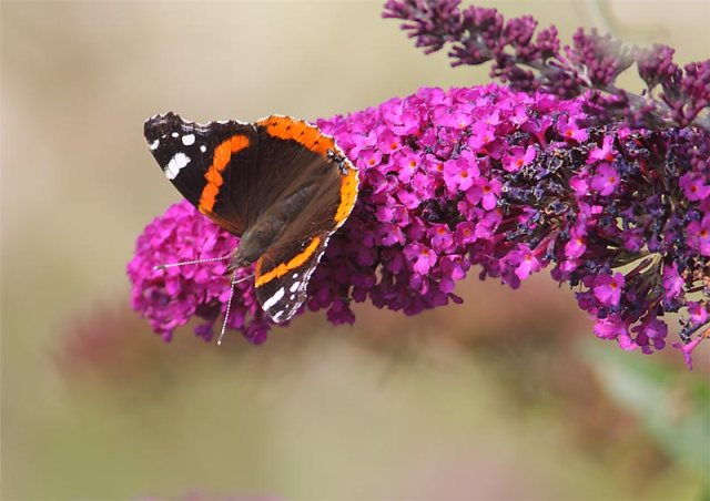 Red-Admiral-25413157