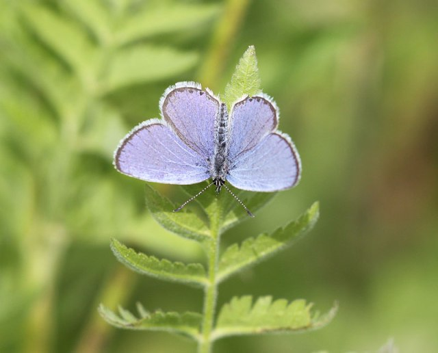 Short-tailed-Blue-maleIMG_7757