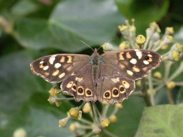 Speckled-Wood-(isles-of-Scilly)----30thOct2009-030