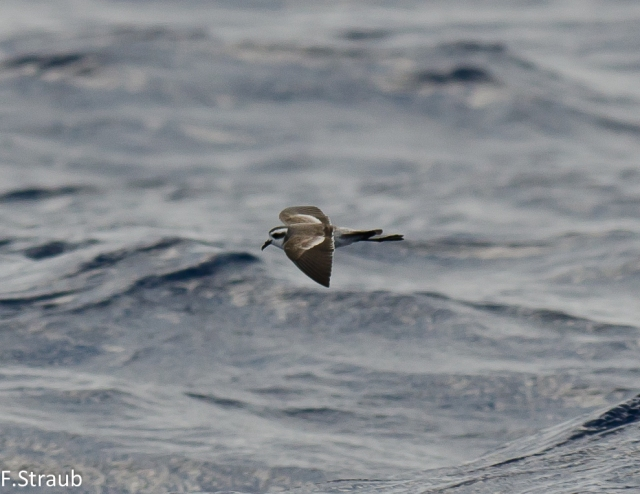 White-faced Storm Petrel DJ 3 (1 von 1)