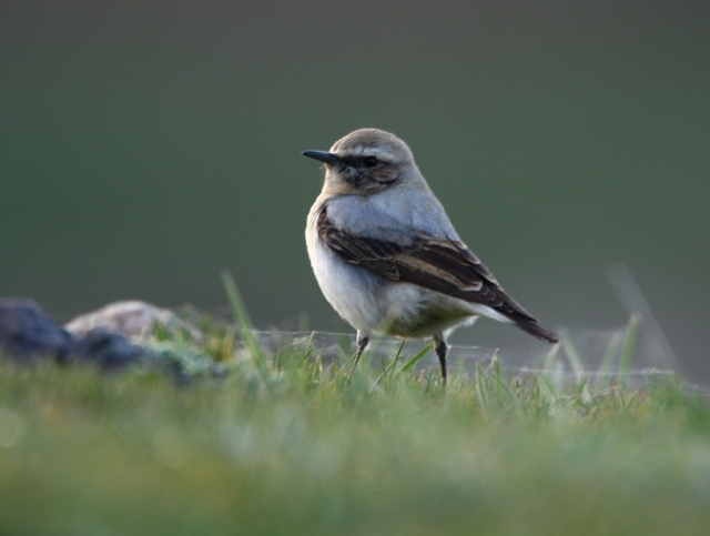 © Dominic Mitchell_Seebohm's Wheatear_3367