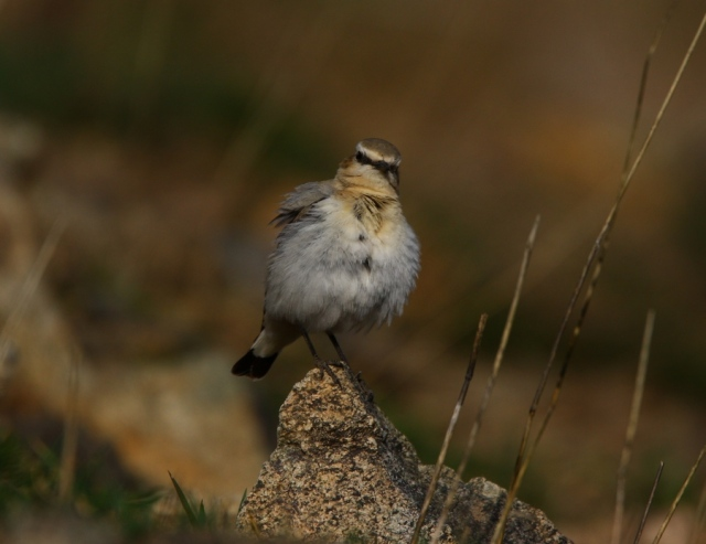 © Dominic Mitchell_Seebohm's Wheatear_3434