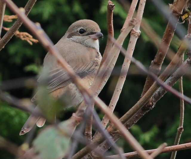 Daurian Shrike 1cy b Flamborough 15.10.13