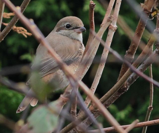 Daurian Shrike 1cy b Flamborough 15.10.13