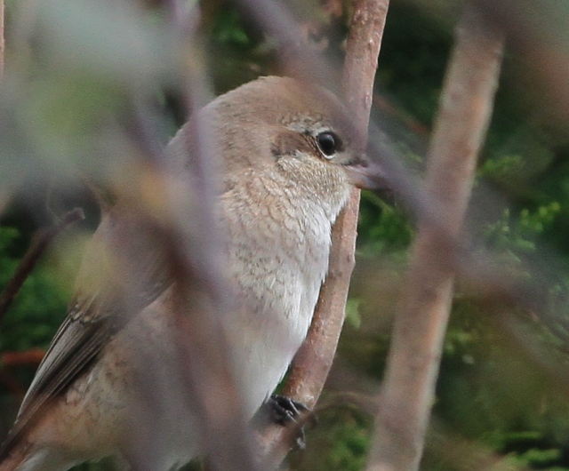 Daurian Shrike 1cy f Flamborough 15.10.13
