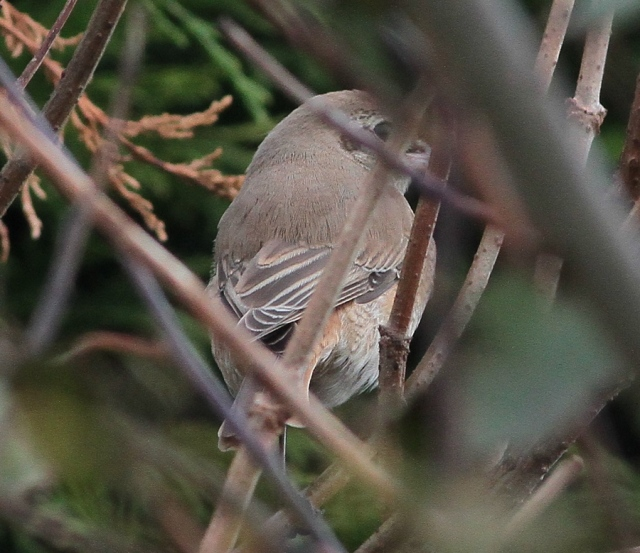 Daurian Shrike 1cy g Flamborough 15.10.13