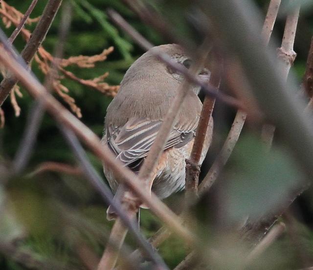 Daurian Shrike 1cy g Flamborough 15.10.13