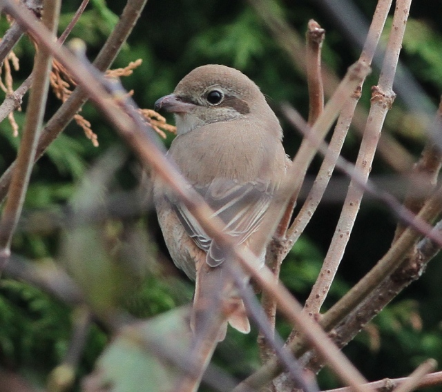 Daurian Shrike 1cy h Flamborough 15.10.13