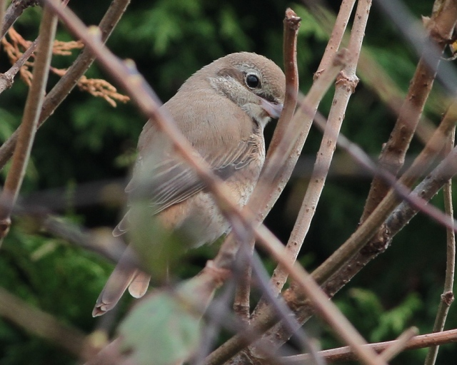 Daurian Shrike 1cy k Flamborough 15.10.13