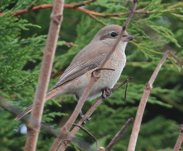 Daurian Shrike 1cy m Flamborough 15.10.13