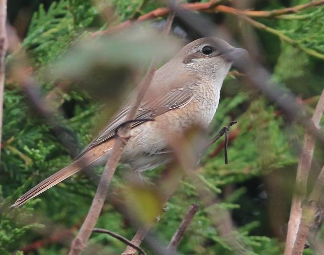 Daurian Shrike 1cy o Flamborough 15.10.13