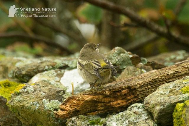 DSC_7637_Cape-May-Warbler_web