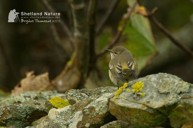 DSC_7645_Cape-May-Warbler_web
