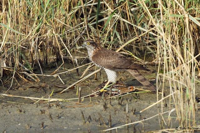 Eurasian Sparrowhawk on Common Snipe, Ma'agan Michael, 13/10/13.