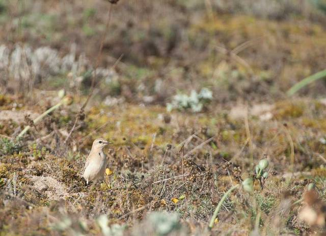 First record shot I took of the bird, just as I found it. The very pale impression and upright stance were very obvious
