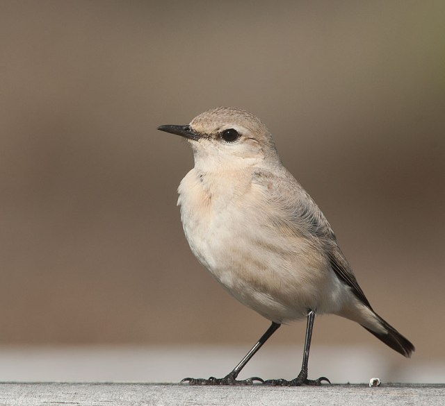 Bill in Isabelline Wheatears is usually noticeably longer and stockier than on Northern.