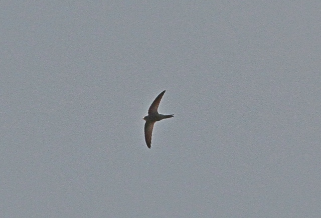 Pallid Swift d Flamboro 26 Oct 2013