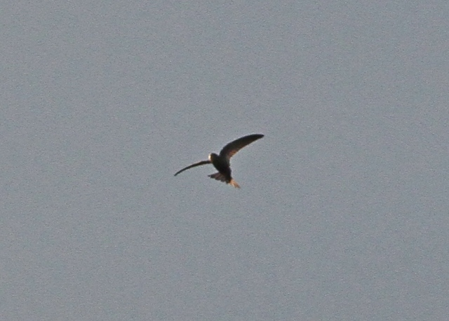 Pallid Swift Flamboro 26 Oct 2013