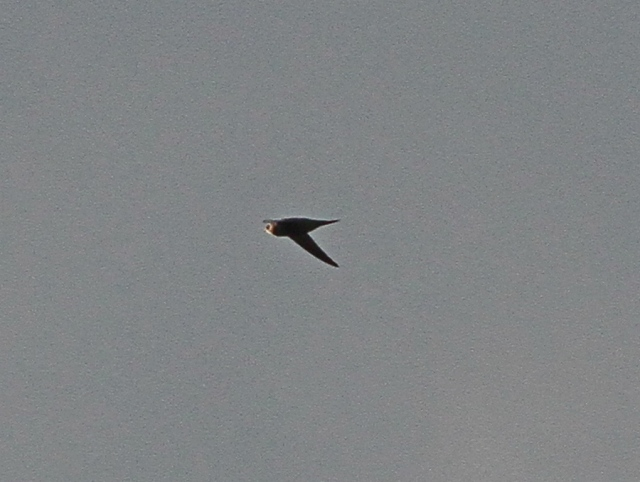 Pallid Swift g Flamboro 26 Oct 2013