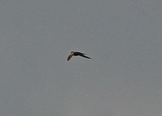 Pallid Swift h Flamboro 26 Oct 2013