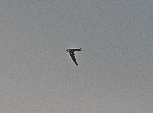 Pallid Swift m Flamboro 26 Oct 2013