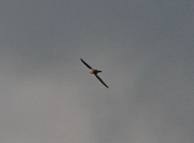 Pallid Swift n Flamboro 26 Oct 2013