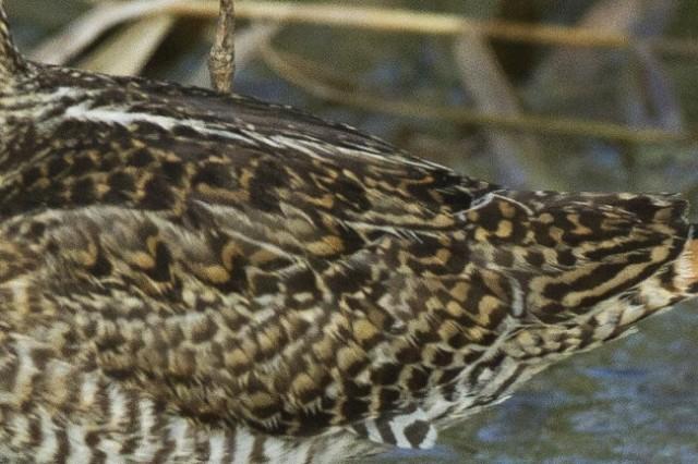 Scapular pattern, Pin-tailed / Swinhoe's Snipe, Ma'agan Michael, Israel, 13/10/13