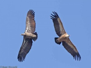 Rueppell's Vulture (left) and Eurasian Griffon (right), Portugal, November 2011. Photo by Rami Mizrachi.